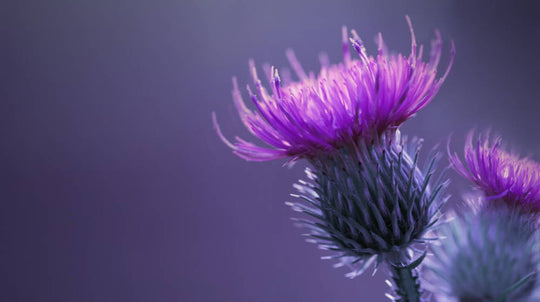 The Wonders Of Milk Thistle For The Body