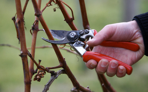 Winter Pruning In The Vineyard