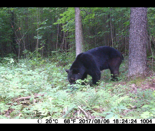 bear picture taken from BlazeVideo trail camera