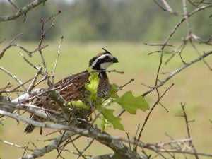 Bobwhite Quail In Decline?