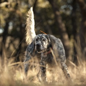 Whoa Dog Videos - hunting, training, etc.