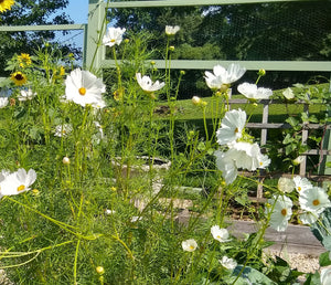 Cosmos, Afternoon White
