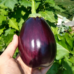 Eggplant, New York Improved