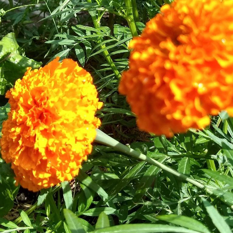 Marigold, Giant Orange