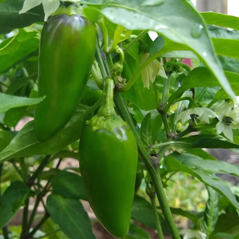 Hot Pepper, Early Jalapeno