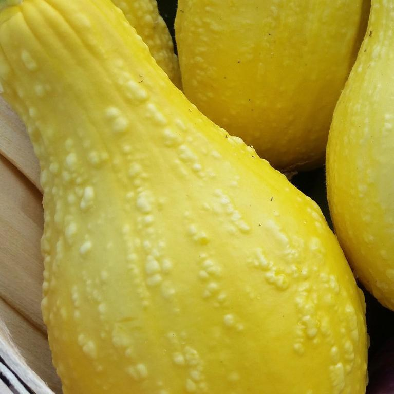 Summer Squash, Yellow Crookneck
