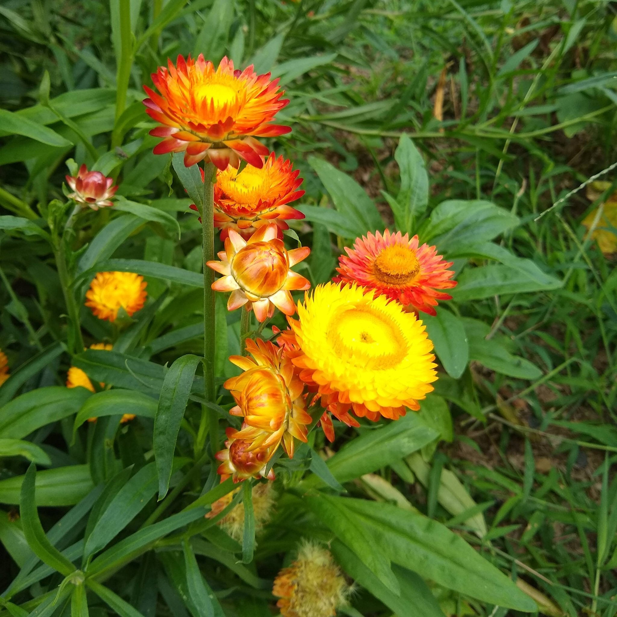 Strawflower, Tall Double Mix