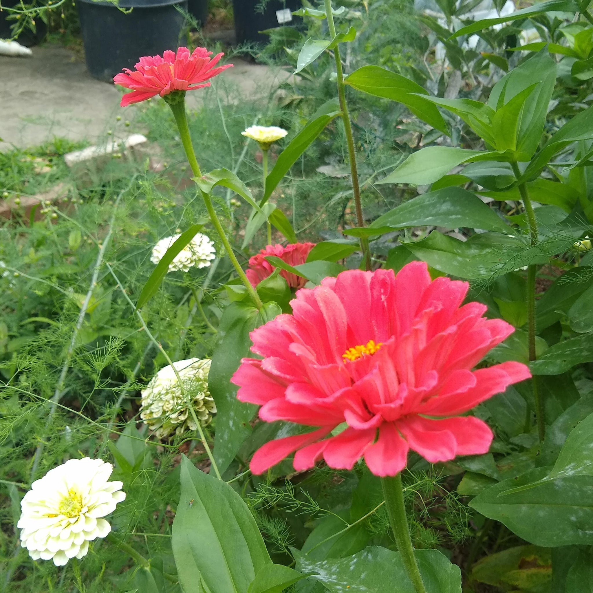 Zinnia, Country Fair Color Mix