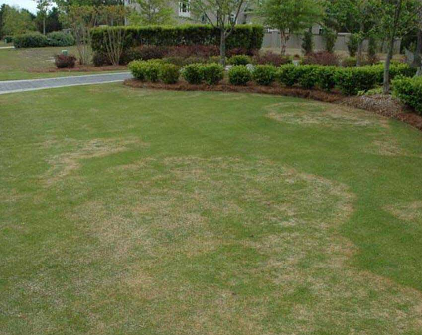 Pythium Blight | Common Lawn Diseases