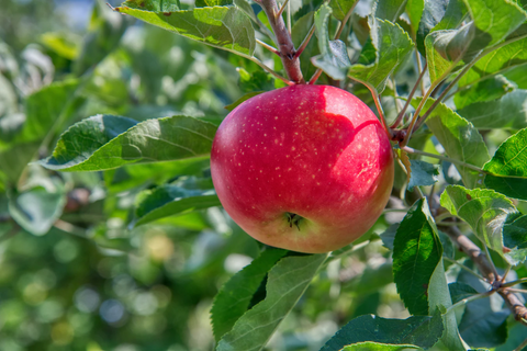 An apple growing on a tree