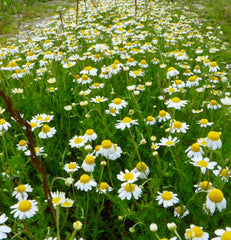 Scented Mayweed