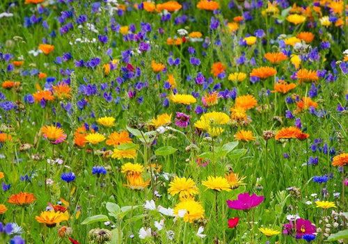 Wild Flower Meadow seeds 10g pack