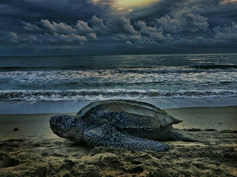 Leatherback-Sea-Turtle