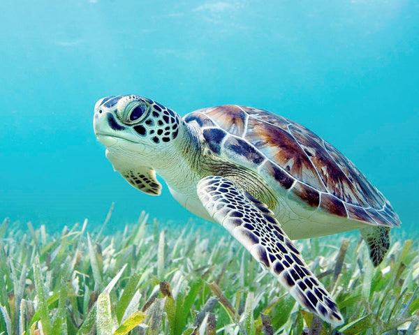 green-sea-turtle