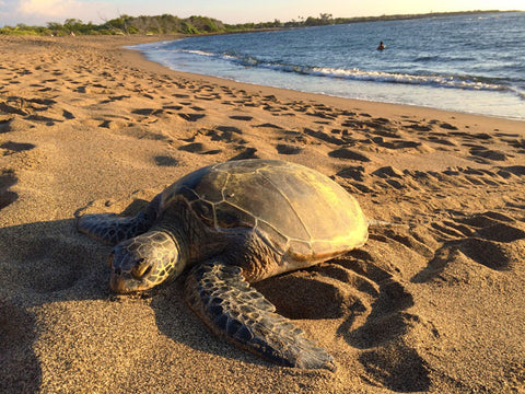 sea-turtle-beach