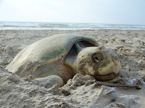 kemps-ridley-sea-turtle