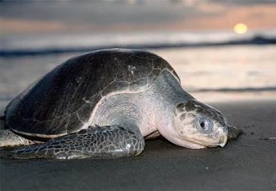 olive-ridley-sea-turtle