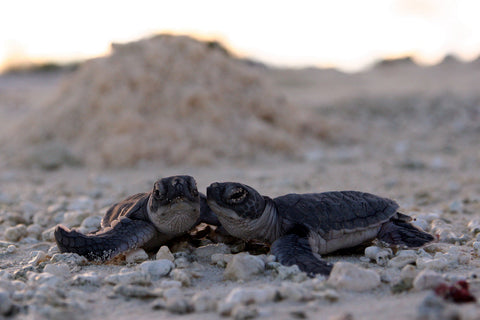 sea-turtle-hatchlings