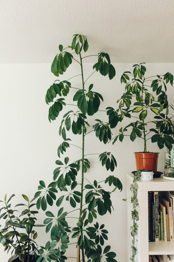 Umbrella Plant Obsession