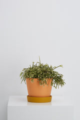 rhipsalis in planter