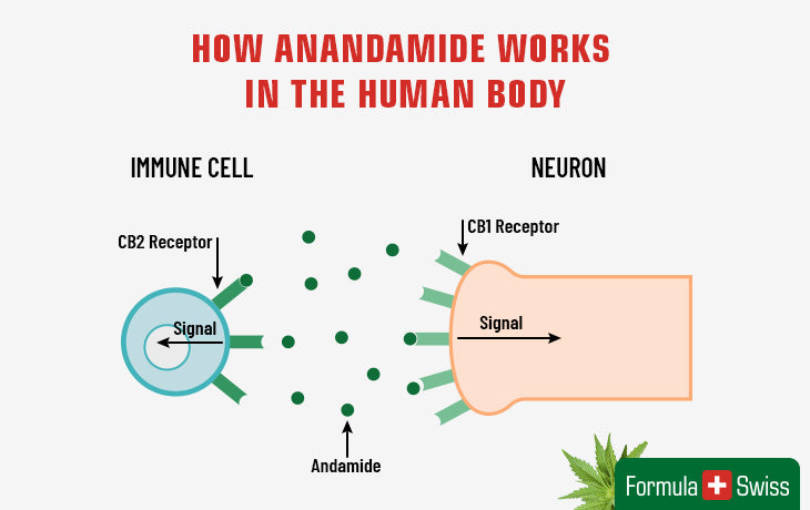 How anandamide works in the human body