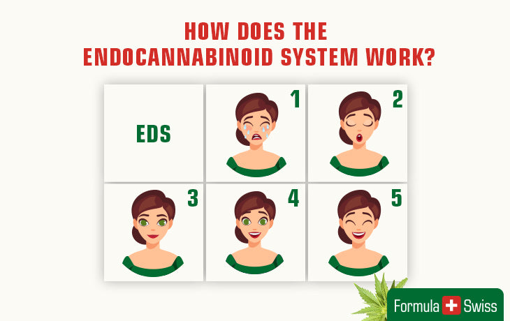 How does the endocannabinoid system work?