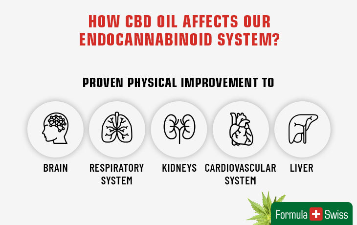 How CBD oil affects our endocannabinoid system