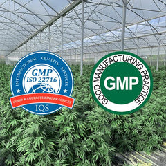 Hemp plants grown inside orangeries and outside with GMP certification