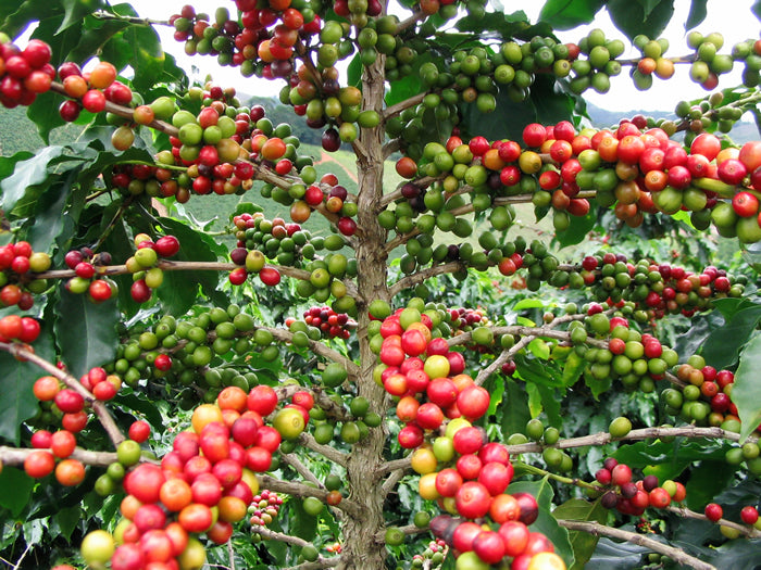 Colombian Coffee, The Finest and more Sustainably Coffee in the World