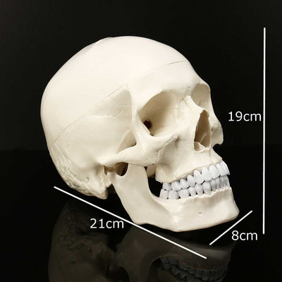 Skull Human Anatomy Resin Head Skeleton - Goods Shopi