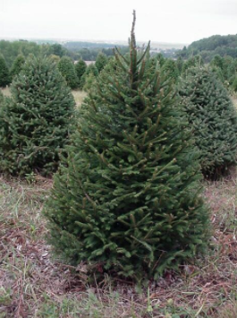 Norway Spruce 6'