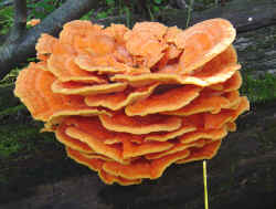 Chicken of the Woods - The VIBRANT Mushroom