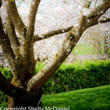 Cherry Tree Dance: photo print by Shelly