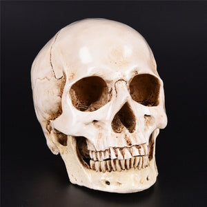 Human Head Resin Replica Medical Model Lifesize