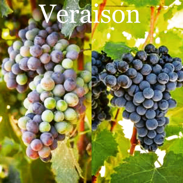 Wine Trivia Tuesday | VERAISON