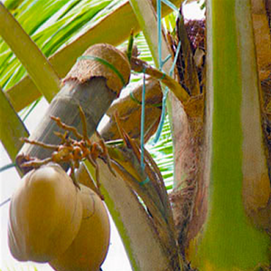 Setting The Record Straight: Coconut Sap Vs. Oil Production
