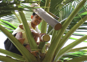 coconut boy in tree