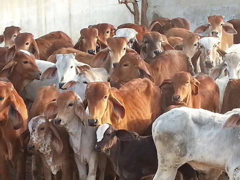 Dr Patel sees the cause of cow welfare being integral to the center's social and environmental welfare programs