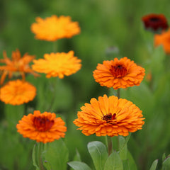 Calendula and how it helps skin barriers.