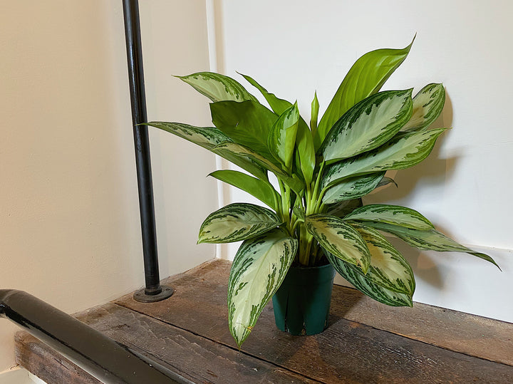 "Aglaonema – Select (6"")"