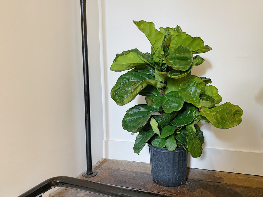"Ficus Bush - Weeping Fig Shrubs (10"")"