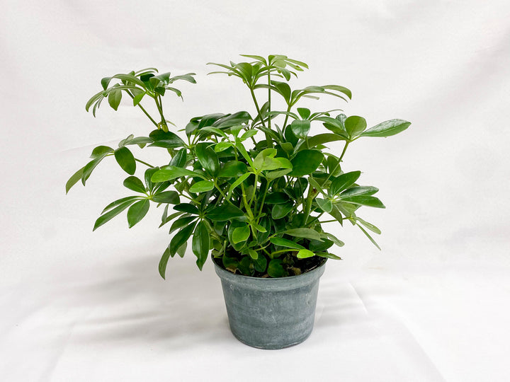 "Schefflera Select - Umbrella Plant (6"")"