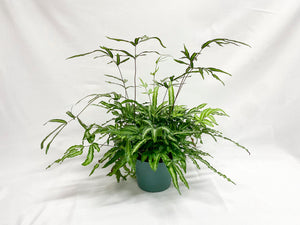 "Fougere – Exotic Fern (6"")"