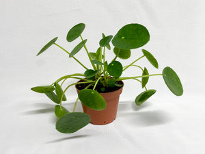 "Pilea - Chinese Money Plant (4"")"