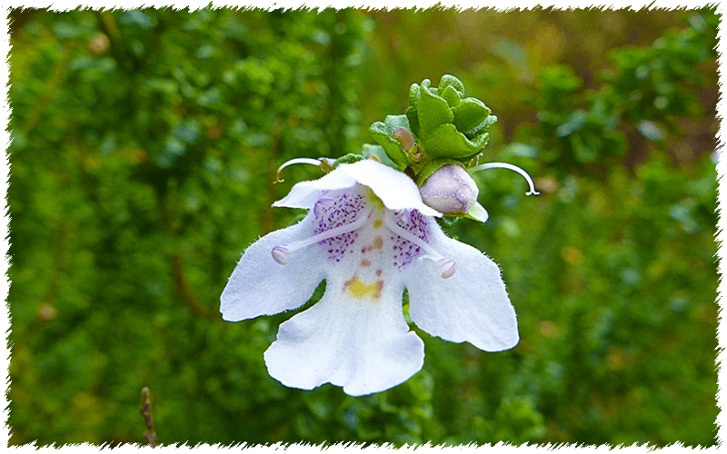 Alpine Mint Bush (Prostanthera cuneata)
