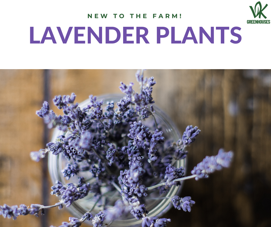 New to the Farm: Lavender!