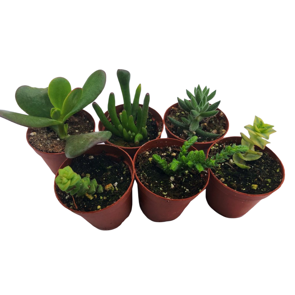 Crassula Essentials 6pack