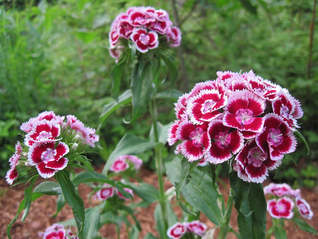 Sweet William 'Dianthus Barbatus'