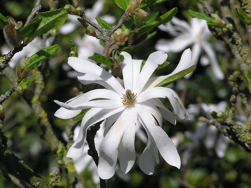 Royal Star Magnolia ~ (Shrub)