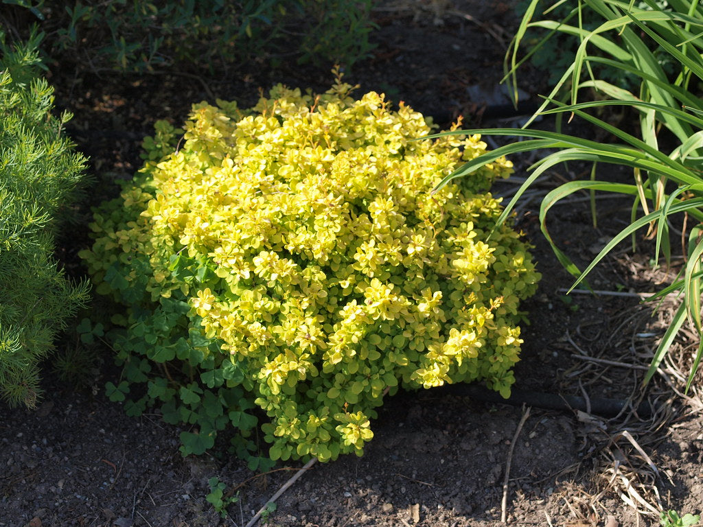 'Monry' Sunsation Barberry